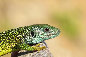 close-up of male green lizard
