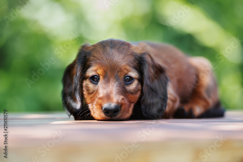 dachshund puppy lying down outdoors in summer