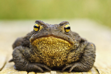 front view of cute common brown frog