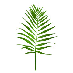 Palm leaf. Tropical plant on isolated background.