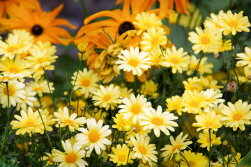 Yellow garden Daisy