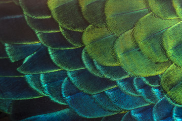 Bright colors of peacock feathers