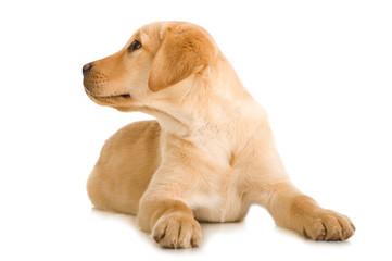 Liegender Labrador Retriever Welpe sieht nach oben isoliert auf weißem Hintergrund