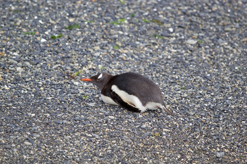 Gentoo penguin on the beach in the island in Beagle Channel, Argentina