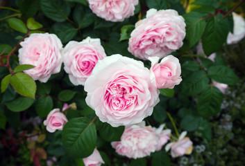 english shrub pink Olivia rose Austin