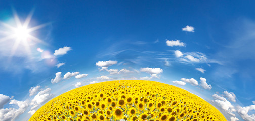 Wall Mural - Summer Landscape of Golden Sunflower Field