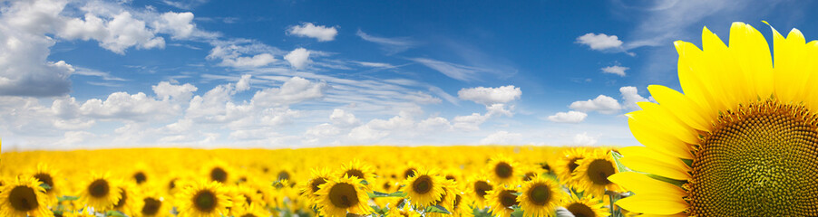 Summer Landscape of Golden Sunflower Field