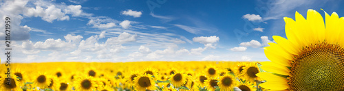 Wall mural Summer Landscape of Golden Sunflower Field