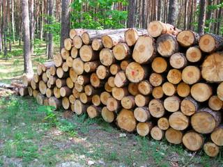 Fototapeta kłody drewna sosnowego w lesie obraz