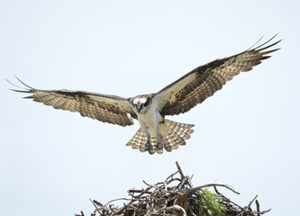 Adult Osprey With Wings Spread Lands on It's Nest