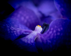 Fine art still life surrealistic floral color macro image of a the inner of a single isolated dark blue orchid blossom