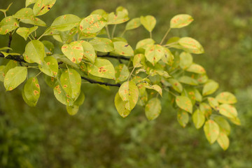 Disease of leaves - rust on the pear.