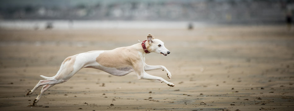 Whippet at the Beach