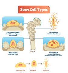 Vector illustration bone cell types diagram. Scheme of osteogenic cell, osteoblast, osteocyte. Medical visualization of stem cells, bone tissue and resorption.