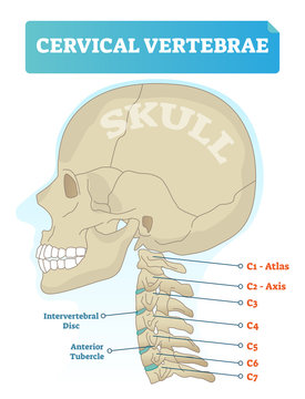 Cervical vertebrae vector illustration. Scheme with skull, C1 atlas, C2 axis, C3, C4, C5, C6 and C7 vertebra. Intervertebral disc and anterior tubercle diagram.