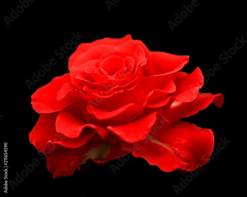 Red Rose Petals On The Black Isolated Background With Clipping Path