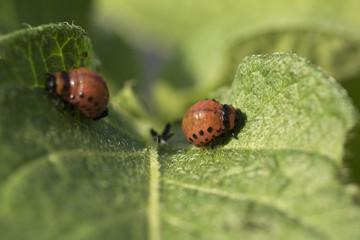 Colorado potato beetle larvae eats potato leaves, Leptinotarsa decemlineata