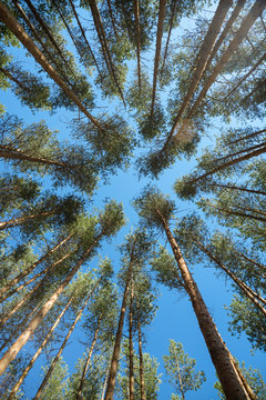 pine trees rise to the sky