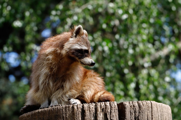 Lotor common raccoon sitting on the tree trunk