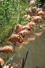Pink flamingo walking in water