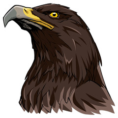 Golden Eagle on White / Hand drawn illustration of a Golden Eagle.