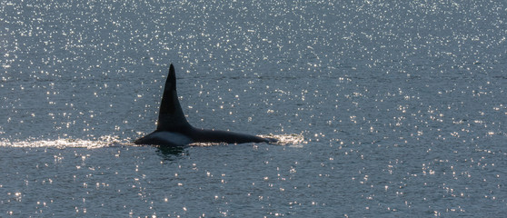 Male orca cruises along the surface with upright dorsal fin raising high above the water