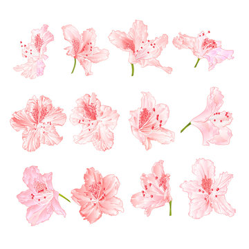 Pink light  flowers rhododendrons  mountain shrub on a white background  vintage vector illustration editable hand draw