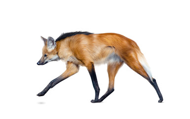 Maned wolf walking isolated