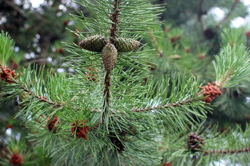 Cedar pine. Branch with inflorescences and cones.