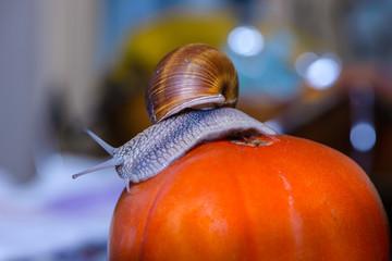 Grape snail crawls into red tomato