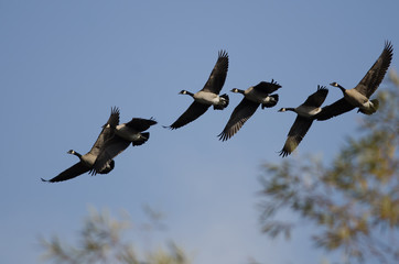 Flock of Canada Geese Flying Past an Autumn Tree