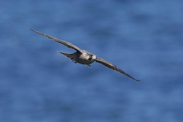Peregrine falcon in its natural habitat in Denmark