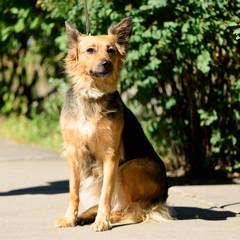 pet dog crossbreed sheepdog outdoor