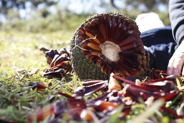 sementes pinha pinhão