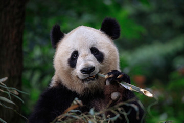 Fotomurales - Panda Bear Munching/Eating Bamboo in Sichuan Province, China. Holding stick of bamboo in left paw, looking directly at viewer. Endangered Wildlife Conservation in China