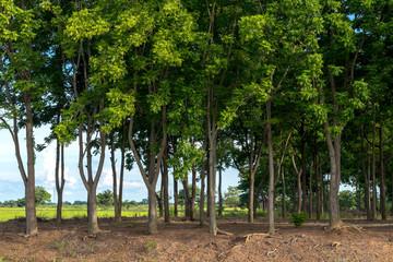 Many neem trees on the mound.