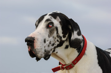 Great Dane dog outdoor portrait head shot