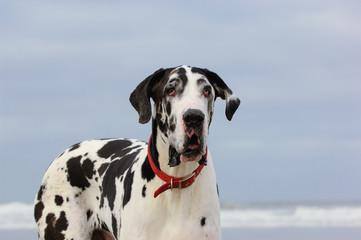 Great Dane dog outdoor portrait at ocean beach