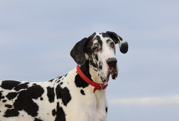 Great Dane dog outdoor portrait against blue sky and ocean