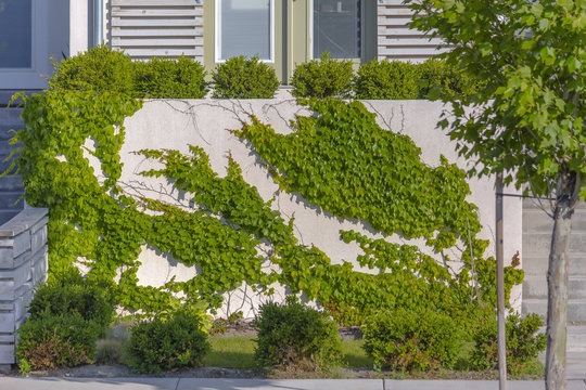 Vines growing up the side of stucco wall