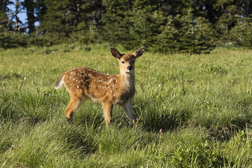 Baby deer stopping to look around