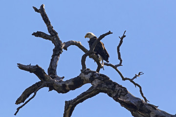 Bald eagle on tree limb perch