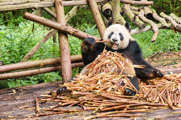 Funny giant panda eating bamboo and looking at the camera