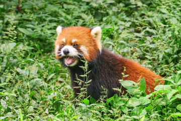 Cute red panda in green grass in forest