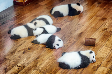Six giant panda cubs sleeping on wooden floor