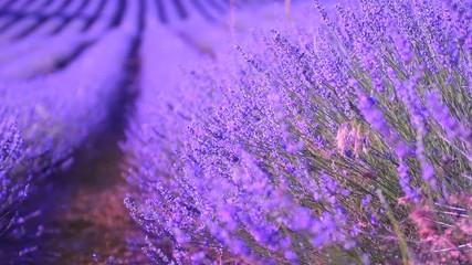 Fotoväggar - Lavender field in Provence, France. Blooming violet fragrant lavender flowers. 4K UHD video 3840x2160