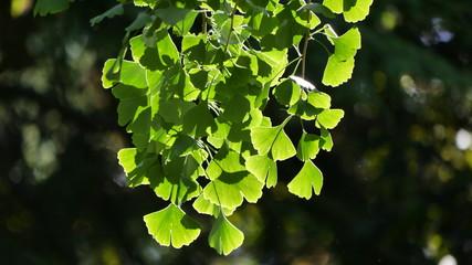 Ginko Blätter in der Sonne