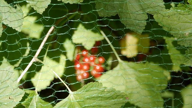 Johannisbeere hinter Vogelschutznetz