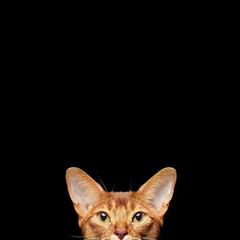 Portrait of beautiful young abyssinian cat. Close up of red cat.  Isolated on black background