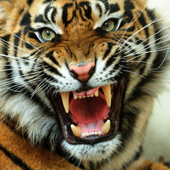 Photo sur Aluminium Tigre Angry tiger